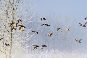 frosty morning and birds flying over