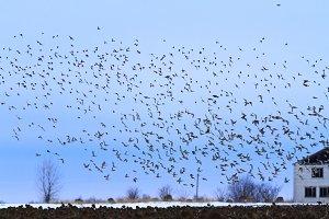 hundreds of birds in the winter