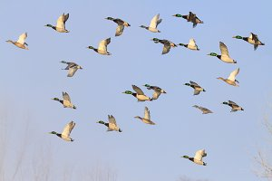 mallards flying in the blue sky