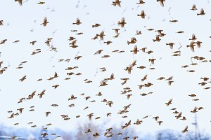 sparrow in flight in the winter sky