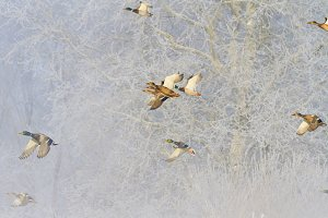 wintering birds fly over snowy trees