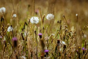 Dandelion and dry wild flowers