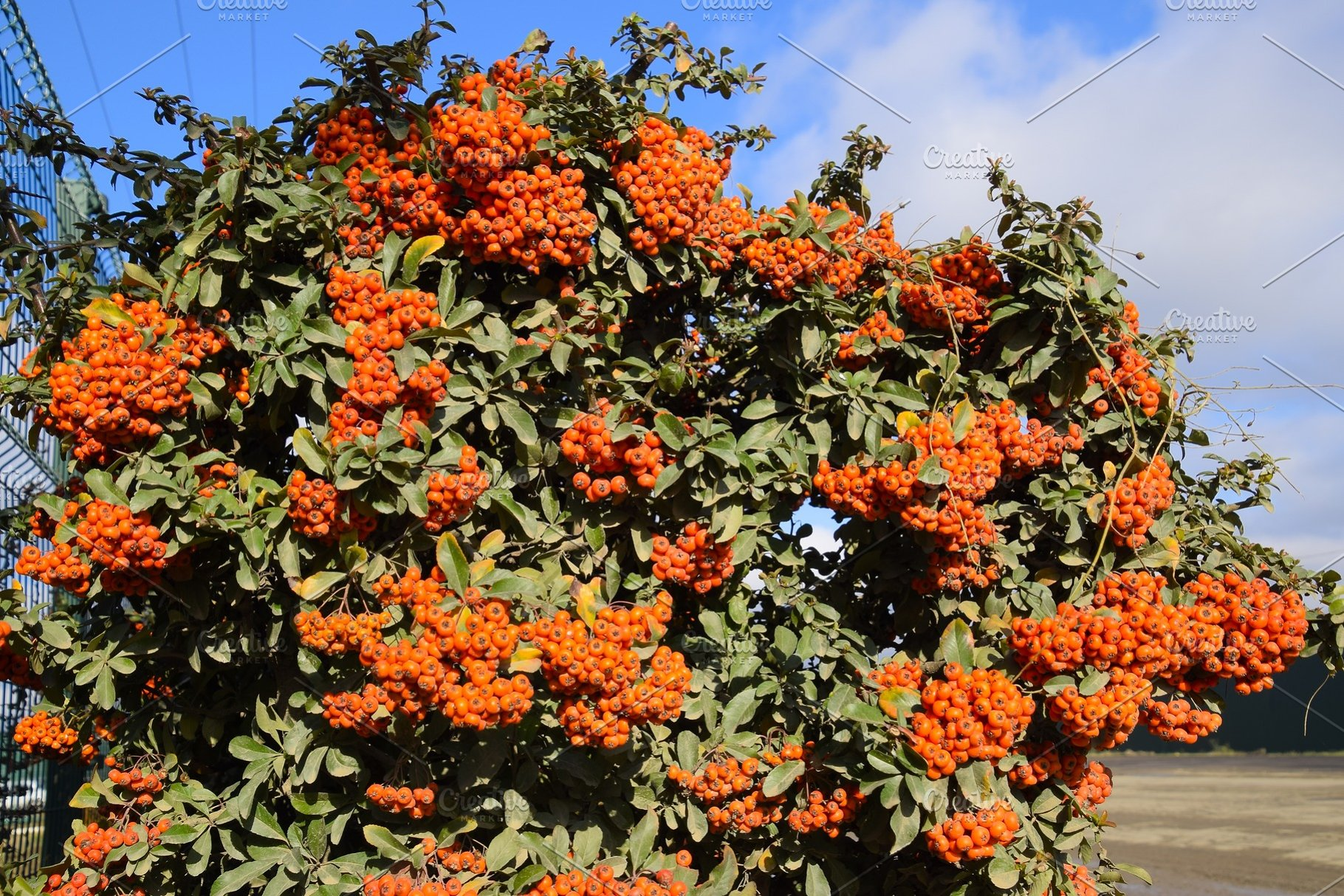 Orange Autumn Berries Of Pyracantha High Quality Nature Stock