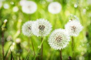 Meadow of Dandelions.