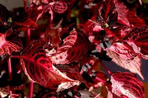 Bright coleus leaves in autumn