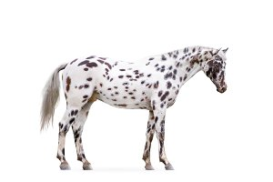 knabstruper appaloosa horse isolated
