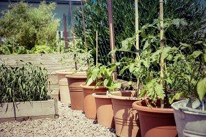 guerilla gardening tomato breeding