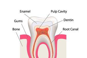 Detailed human tooth anatomy