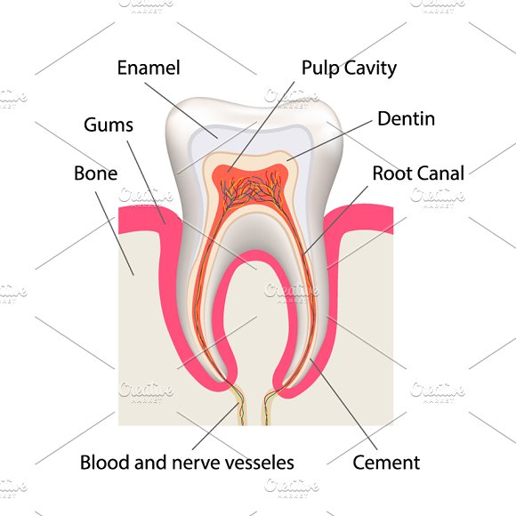 Detailed Human Tooth Anatomy Illustrations Creative Market