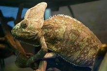 green chameleon sitting in a terrari