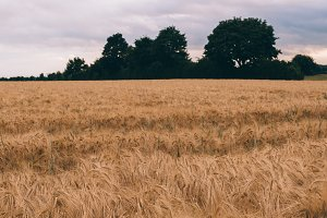 Cornfield and a Tree in Summer