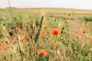 Cornfield in Summer (Vintage Look)