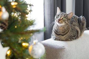 Beautiful Tabby Cat Christmas