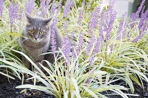 Gray Cat in Purple Flowers