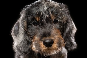 Coarse dachshund puppy dog