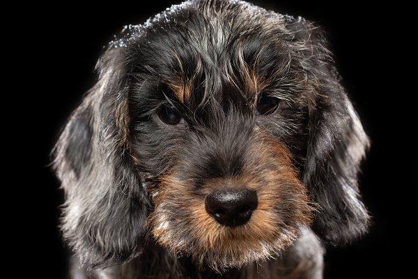 Animal Stock Photos - Coarse dachshund puppy dog