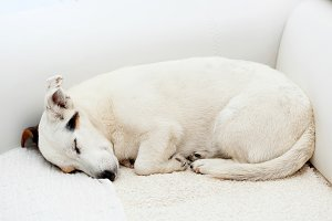 Jack Russell dog sleeps on a white c