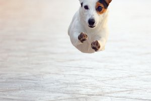 Jumping jack russell terrier for thr