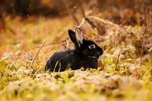 Black Rabbit in autumn