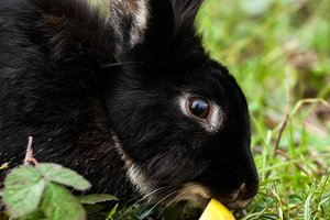 Black Rabbit eating an apple.