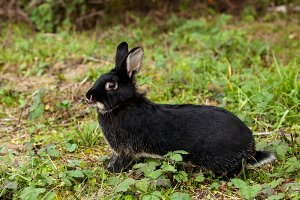 Black rabbit running in the forest.