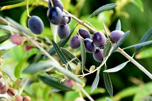 Olives ripening on the branch