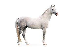 white akhal-tekes stallion isolated