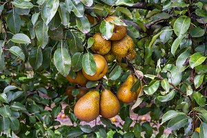 Pears on the tree (2)