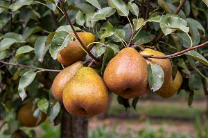 Pears on the tree (7)