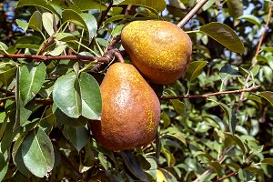 Pears on the tree (6)