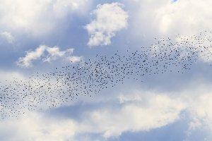 birds diagonally fly across the sky