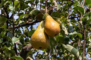Pears on the tree (4)