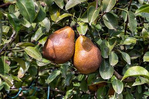 Pears on the tree (5)