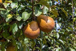 Pears on the tree (3)
