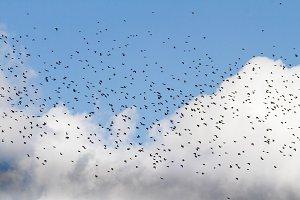 huge flock of birds flies on a
