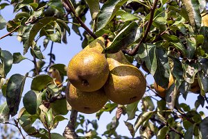 Pears on the tree (1)