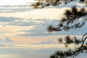 Silhouette the pine tree at sunrise