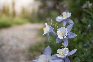 Mountain Wild Flower on Path Macro
