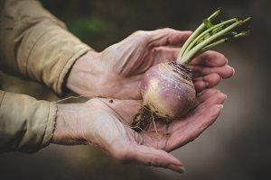 Elderly Gardener Hands with Turnip