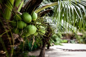 Coconuts