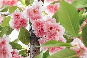 closeup shot of pink blooming sakura