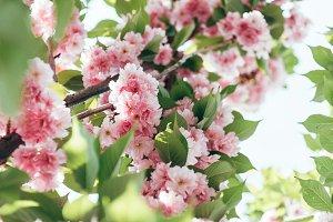 closeup shot of sakura flowers with