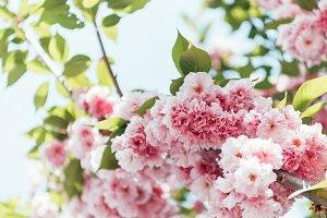 closeup shot of pink sakura bloom wi