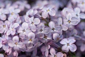 full frame image of violet lilac blo