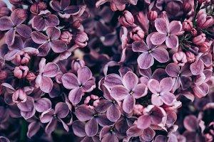 full frame image of violet lilac tex