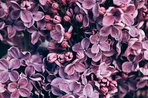 full frame image of violet lilac flo