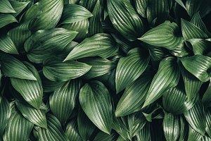 full frame image of hosta leaves bac