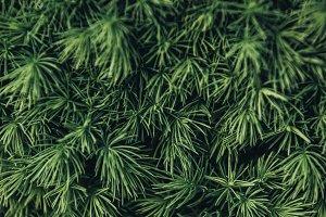 full frame image of pine tree needle