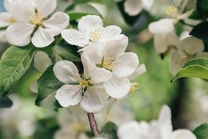 close up view of apple tree bloom wi
