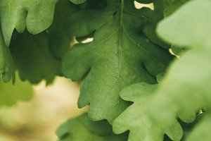 close up shot of oak leaves on blurr